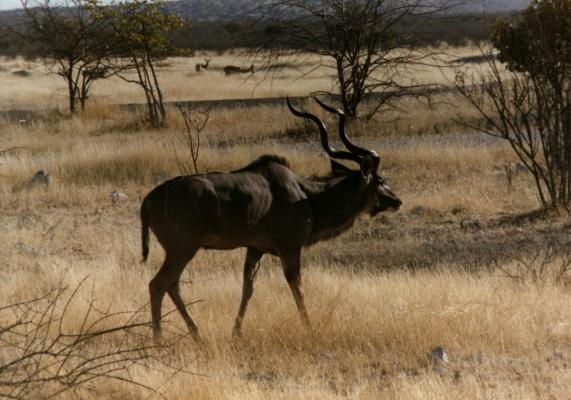 Kudu Bull in Kruger by Dries Velthuizen